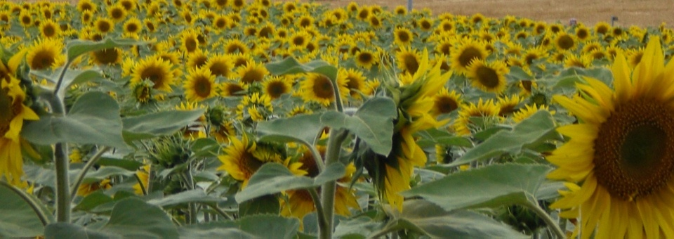 the countyside often full of sunflowers, maize or barley